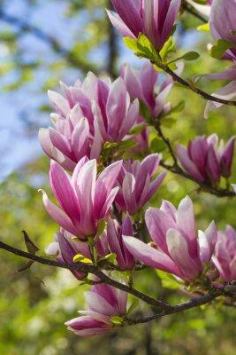 Fototapeta Różowe kwiaty magnolii