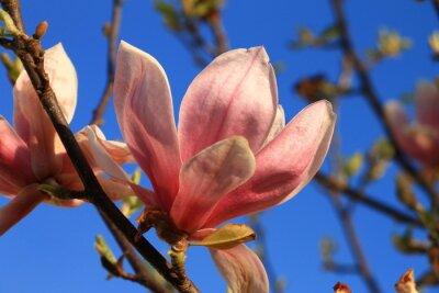 Fototapeta Różowe kwiaty magnolii z błękitnego nieba