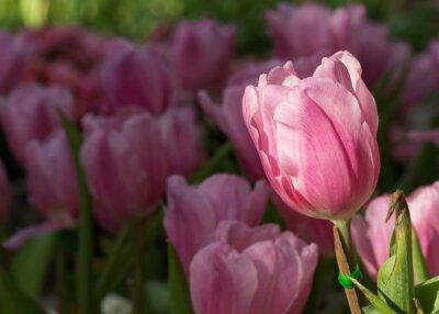 Fototapeta różowe tulipany kwitnące w ogrodzie