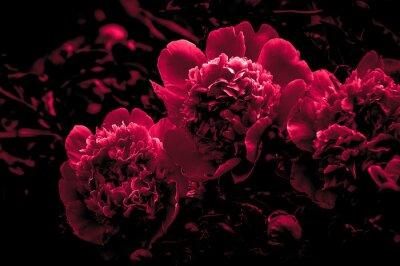 Fototapeta Różowi peonia kwiaty zamykają w górę odosobnionego na czarnym tle