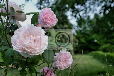 Fototapeta różowy