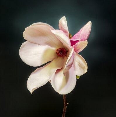 Fototapeta Różowy, fioletowy kwiat magnolii oddział, gradient.