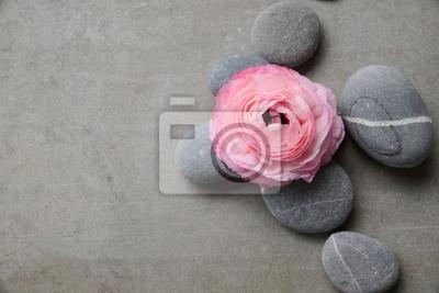 Różowy Jaskier z szarymi kamieniami na szarym tle