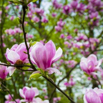 Fototapeta Różowy kwiat drzewa kwiat magnolii