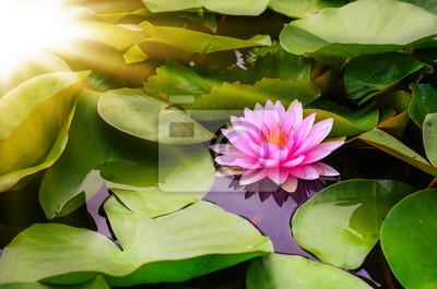 Różowy kwiat lotosu i słońce