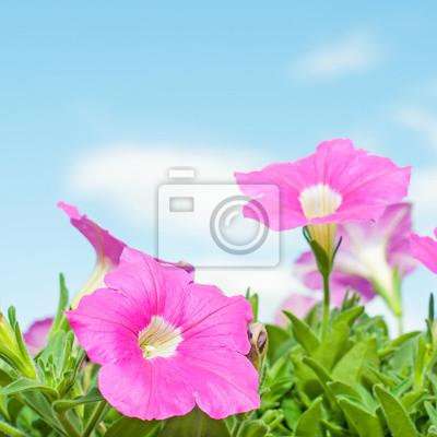 Różowy petunia