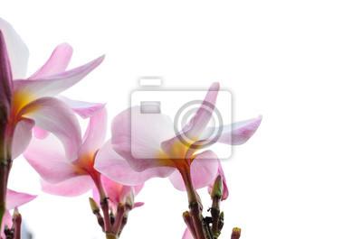 Różowy Plumeria kwiaty na białym tle
