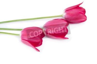 Fototapeta Różowy tulipan na białym tle