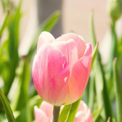 Fototapeta Różowy tulipan w ogrodzie
