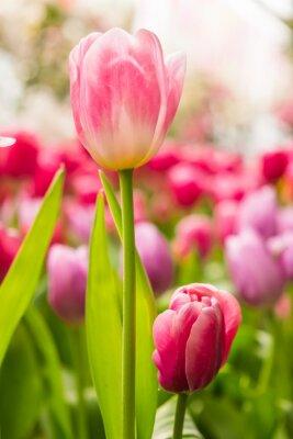 Fototapeta różowy tulipan z bokeh