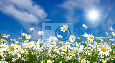 Rumianek i słońce