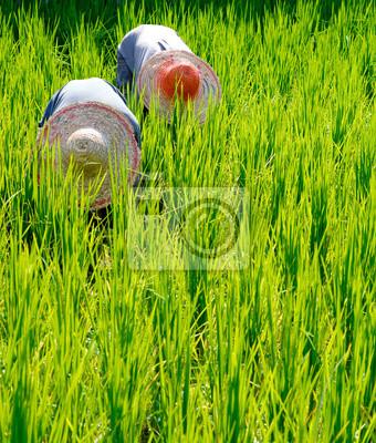Fototapeta Ryż Rolnicy w Malezji
