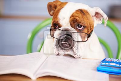 Fototapeta Sad Patrząc British Bulldog Udając biznesmena