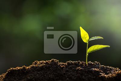 Fototapeta Sadzonka rośnie z bogatej gleby do porannego słońca