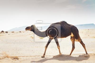 Sahara w dromadzie pustyni w Maroku.