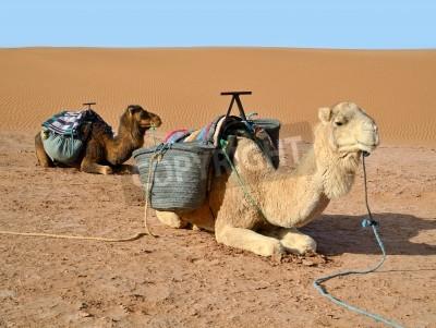 Sahara w Maroku i dwa wielbłądy reasting dromader na piasku