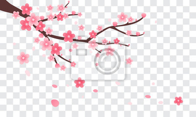 Fototapeta Sakura gałąź z spada płatków wektoru ilustracją. Różowy kwiat wiśni na przezroczystym tle.
