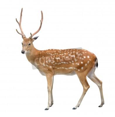 Fototapeta samiec jelenia sika na białym tle