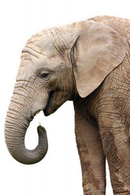 Fototapeta samodzielnie Portret w żywności słoń na białym tle