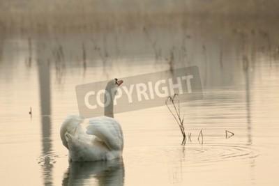 Fototapeta Samotny łabędź na jezioro w mglisty poranek
