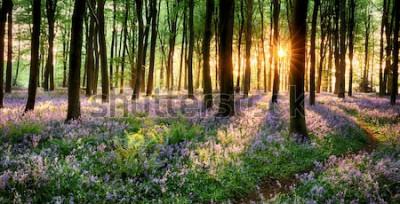 Fototapeta Ścieżka przez lasy bluebellbell fioletowy wschód słońca wcześnie rano