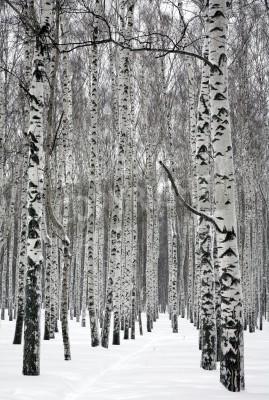 Fototapeta Ścieżka w zimowym lesie brzozy