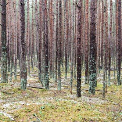 Fototapeta Ścieżka w zimowym lesie sosnowym