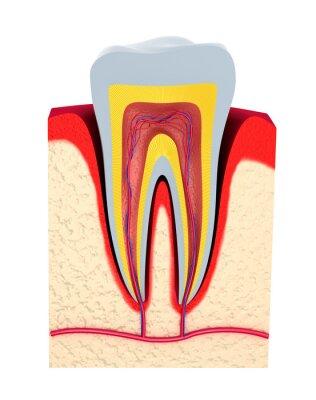 Fototapeta Sekcja zęba. Miąższ z nerwów i naczyń krwionośnych.