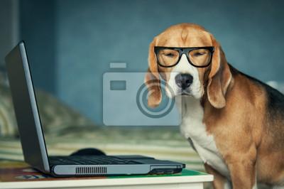 Fototapeta Senny pies rasy beagle w śmiesznych okularach koło laptopa