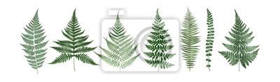 Set of fern leaves isolated on white. Watercolor botanical illustration.