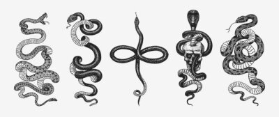 Fototapeta Set of snakes. Pythonidae or python. Boinae or boas or boids. Eastern racer or Coluber constrictor. Indian cobra or spectacled or Asian or binocellate. Engraved hand drawn in old sketch, vintage style