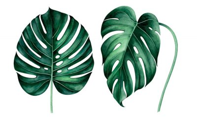 Set of tropical monstera leaves isolated on white. Watercolor illustration.