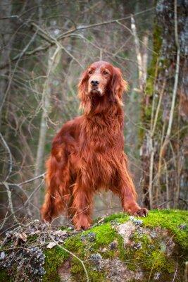 Fototapeta Seter irlandzki pies czerwony
