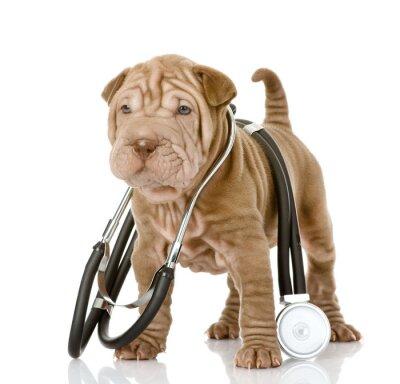 Fototapeta sharpei szczeniak stetoskopem na szyi. odizolowany