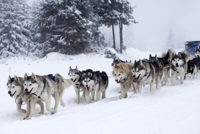 Fototapeta Siberian husky psy w śniegu
