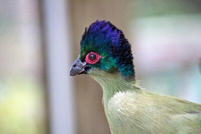 Fototapeta Siedziba czerwonych oczu niebieski ptak - Close-up obraz egzotycznego ptaka z niebieskim i zielonym Head, białe i fioletowe Ciała i Red Eye