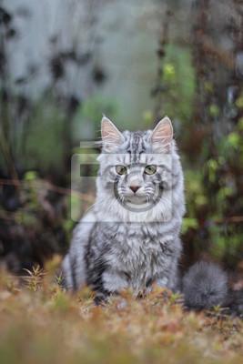 Fototapeta Silver tabby cat outside