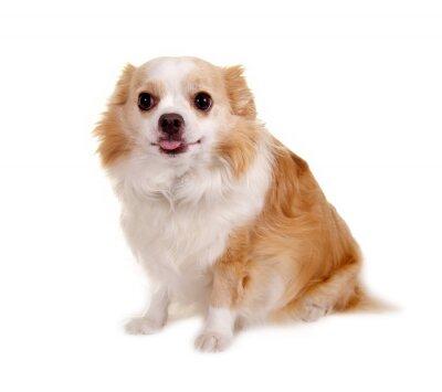 Fototapeta Sitzender Chihuahua