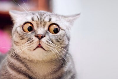 Fototapeta Skeptic surprised cat thinking & dont know what to do, big eyes closeup. Tabby cat look side dont know, funny face. Cute tabby cat looking scared, thinking. Wide eyed kitten dont know why, portrait