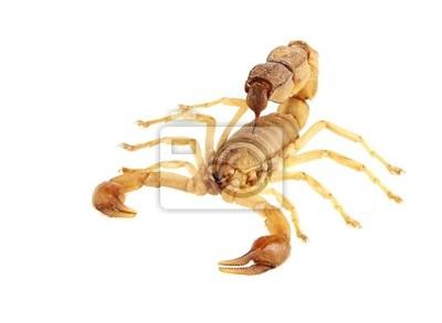 Fototapeta Skorpion
