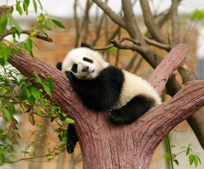 Fototapeta Sleeping Giant dziecko panda