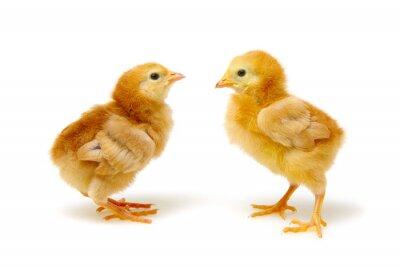śliczne małe nowonarodzone kurczaki