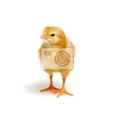 Fototapeta śliczne małe nowonarodzone kurczaki