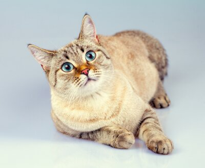 Fototapeta Śliczne marzy kot tajski