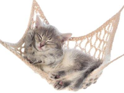 Fototapeta Śliczne prążkowanych śpiąca kotka w hamaku