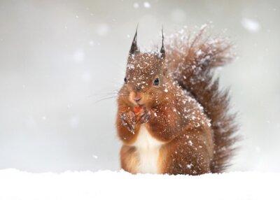 Fototapeta Śliczne wiewiórkę w padającym śniegu, zima w Anglii