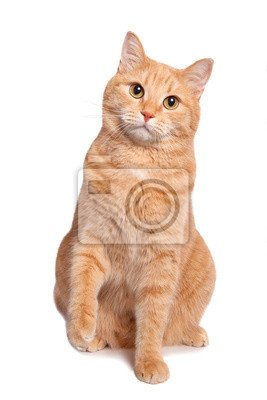Fototapeta Śliczny czerwony kolor żółty palu kota obsiadanie odizolowywający na białym tle.