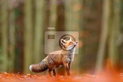 Fototapeta Śliczny Czerwony lis, Vulpes vulpes, spadku las. Piękne zwierzę w środowisku naturalnym. Pomarańczowy lis, portret szczegół, czeski. Dzika przyroda z dzikiej przyrody. Czerwonego lisa bieg w pomarańcz