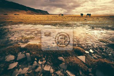 Słodkie konie islandzkie