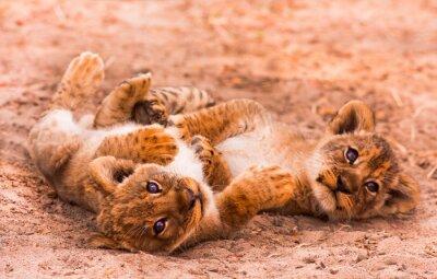 Fototapeta Słodkie Lion Cubs